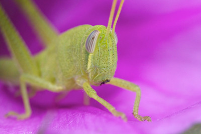 grasshopper on railroad vine flower