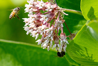 bee and milkweed