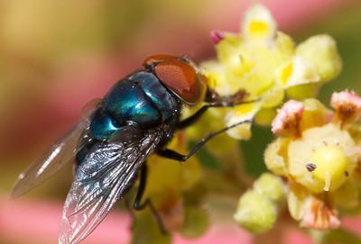 fly on mango blossom
