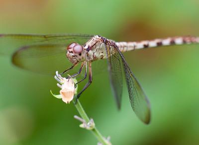 female band winged dragonlet (erythrodiplax umbrata)